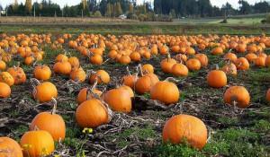 131016_pumpkin_02-thumb-500x291-66604